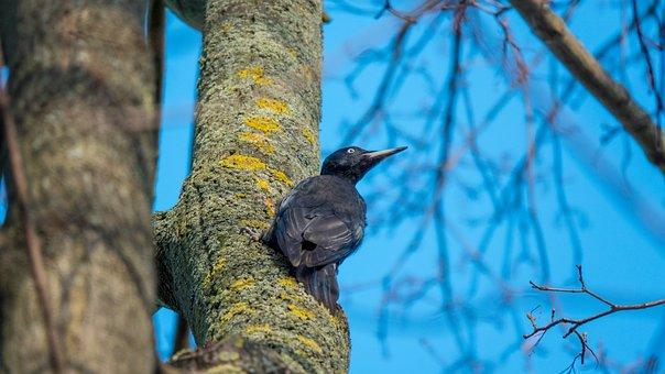 Woodpecker, Bird, Tree, Black Woodpecker, Animal