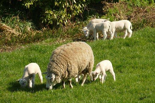 Sheep, Lamb, Pasture, Livestock, Animals, Mammals