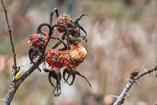 Rose Hip, Withered, Plant, Branch, Thorns, Dried Fruit