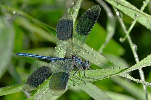 Dragonfly, Blue-winged Splendor, Grass, Dew