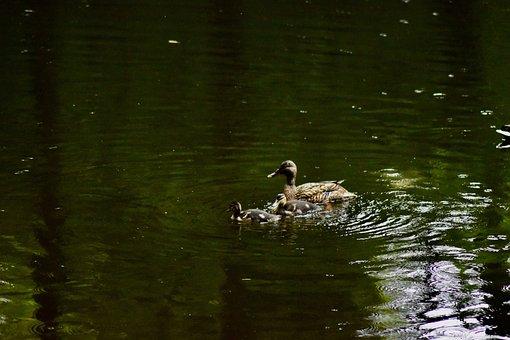 Duck, Swim, Nature, Animal, Ducklings, Ducks, Cute