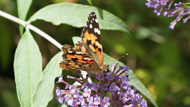 Painted Lady Butterfly, Insect, Flowers, Butterfly