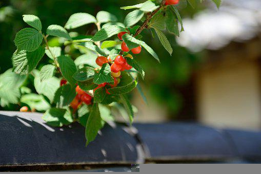 Cherry, Fruit, Plants, Leaves, Foliage, Bush, Spring