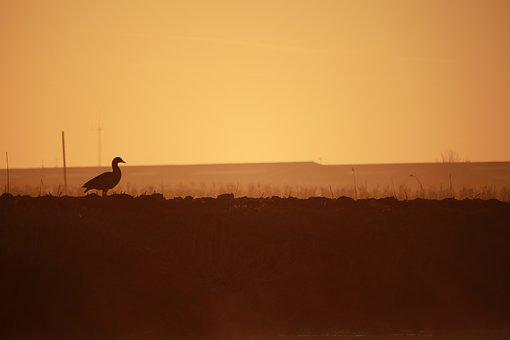 Duck, Meadow, Sunrise, Silhouette, Morning, Goose, Bird