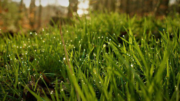 Grass, Field, Dew, Dewdrops, Morning Dew, Wet, Flora