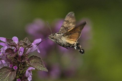 Hummingbird Hawk Moth, Insect, Flower, Nectar, Flying