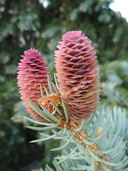 Pine Cones, Leaves, Branch, Cones, Needles, Fir, Pine