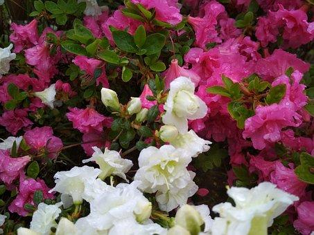 Flowers, Azalea, Petals, Plant, Flourishing, Garden