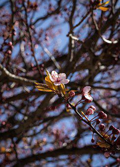 Plum Flower, Buds, Branch, Spring, Plum Blossom, Bloom