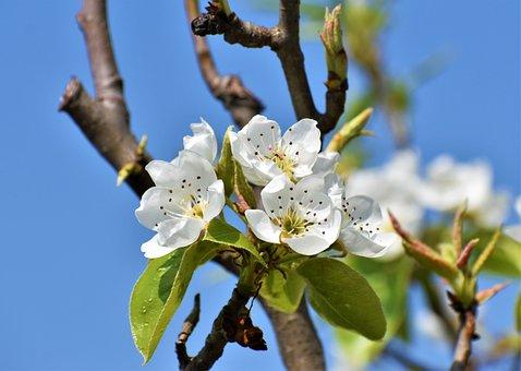 Tree, Flower, Buds, Branch, Fruit, Garden, Spring
