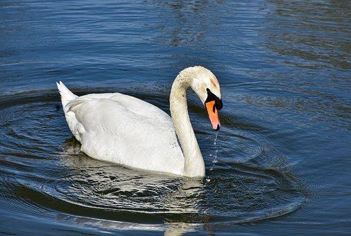 Swan, Bird, Lake, White Swan, Waterfowl, Water Bird