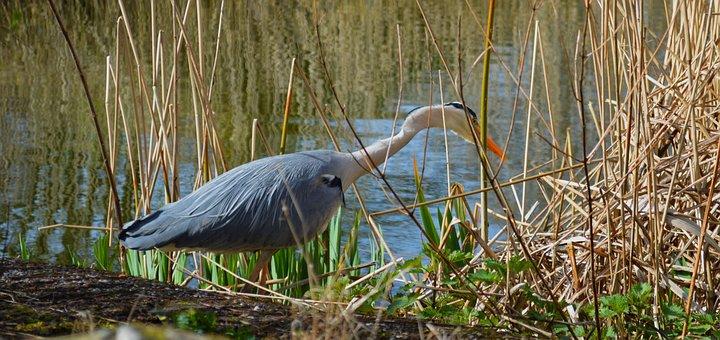 Grey Heron, Bird, Bank, Grass, Reed, Heron