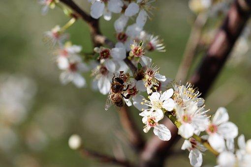 Bee, Mirabelle Plum Blossom, Petals, Stamp, Stamen