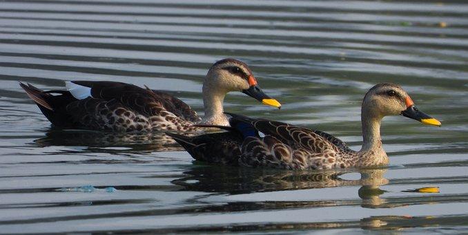 Ducks, Birds, Lake, Indian Spot Billed Ducks