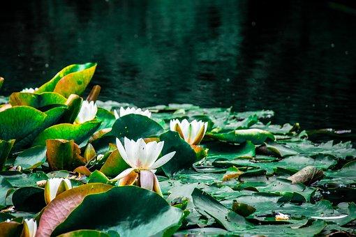 Lotus, Lake, Nature, Pond, Blossom, Flower, Waterlily
