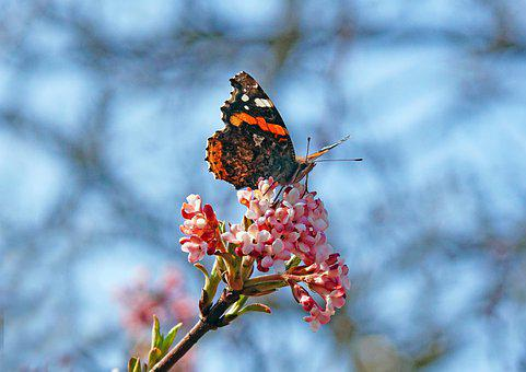 Red Admiral Butterfly, Butterfly, Flowers, Insect