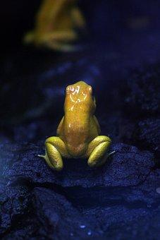 Golden Frog, Frog, Wildlife, Animal, Amphibian