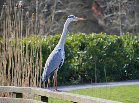 Grey Heron, Bird, Fence, Perched, Heron, Ardea Cinerea
