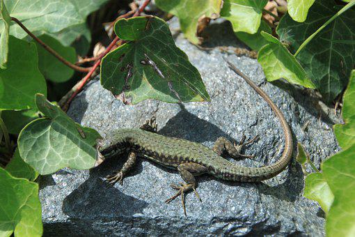 Lizard, Animal, Rock, Leaves, Reptile, Sand Lizard