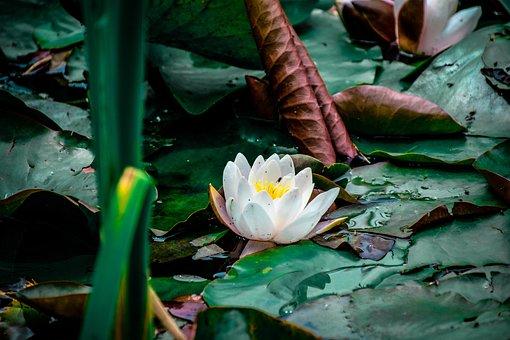 Lotus, Flower, Leaves, Water Lily, Lotus Leaves, Bloom