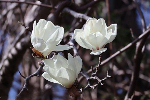 Magnolia, Flowers, Branches, White Flowers, Petals