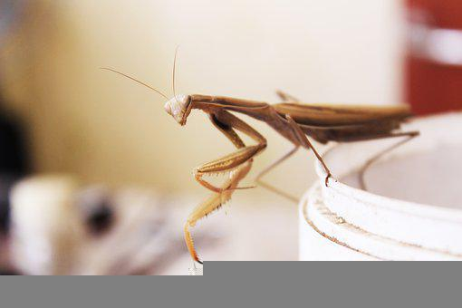 Praying Mantis, Insect, Nature, Macro, Insects, Animals