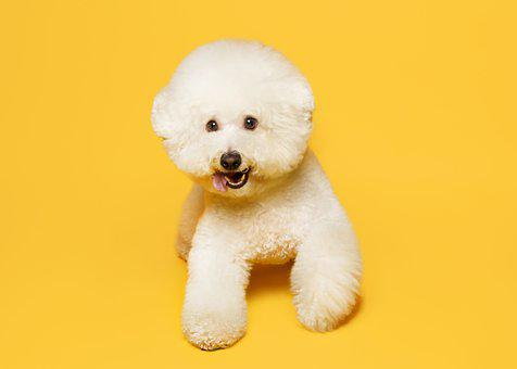 Bichon, Dog, Pet, Bichon Frise, White Dog, Furry