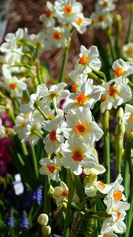 Daffodils, Flowers, Plants, Narcissus, Bloom, Flora