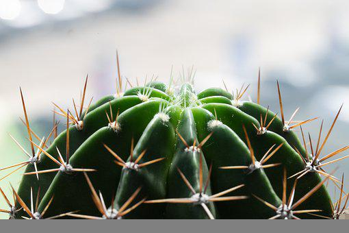 Cactus, Thorns, Plant, Succulent, Spines, Prickly