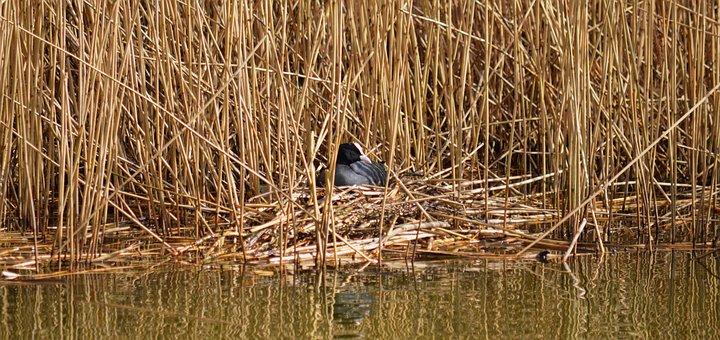 Coot, Grass, Lake, Bird, Fulica, Water Bird
