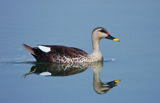 Duck, Bird, Lake, Indian Spot Billed Duck, Waterfowl