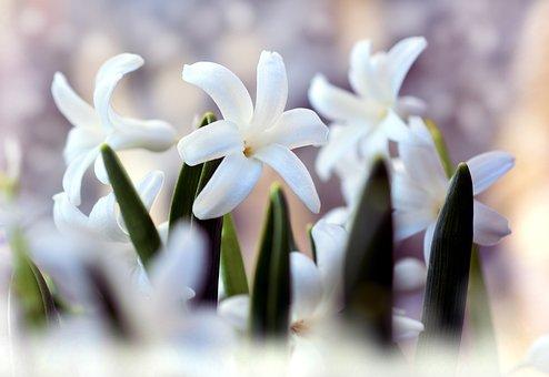 Hyacinth, Flowers, Plant, White Flowers, Petals, Leaves