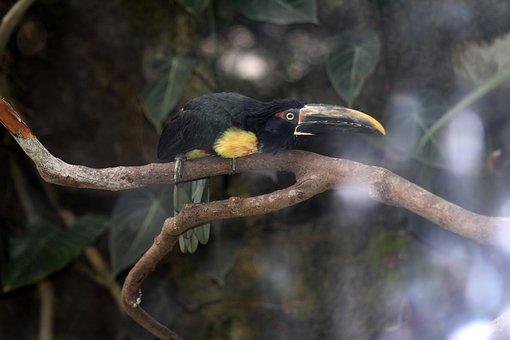 Toucan, Bird, Branch, Perched, Animal, Wildlife, Exotic