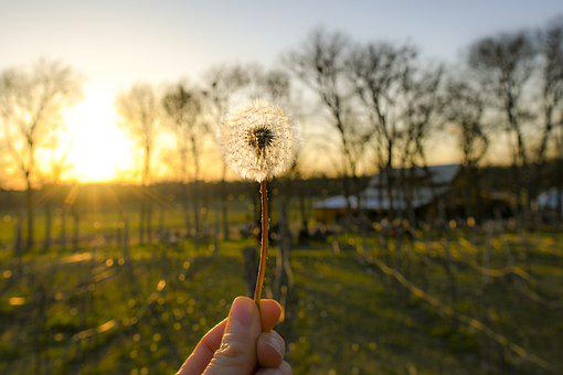Dandelion, Blowball, Sunset, Hand, Holding, Wish