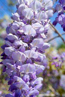 Flowers, Cute, Nature, Wisteria, Spring, Bloom, Garden