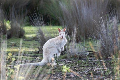 Wallaby, Animal, Albino, Albino Bennett's Wallaby
