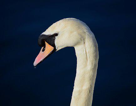 Swan, Bird, Head, Beak, Mute Swan, White Swan