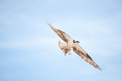 Osprey, Bird, Flying, Sky, Sea Hawk, Bird Of Prey