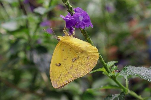 Butterfly, Yellow, Butterflies, Nature, Animal