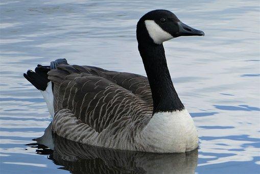 Canada Goose, Goose, Lake, Bird, Waterfowl, Water Bird