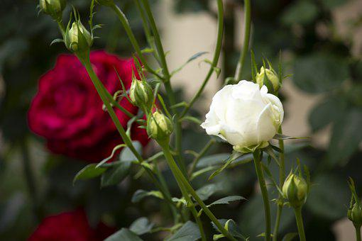 Rosa, Garden, Flower, Plant, Shoots, Cocoons