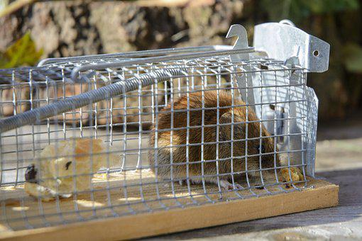 Field Mouse, Mouse, Cage Trap, Rodent, Animal, Mammal