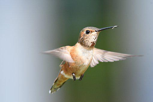 Female Rufous Hummingbird, Flight, Hummingbird, Beak