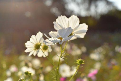 Flowers, Cosmos, Petals, Buds, Plant, Crop, Flora