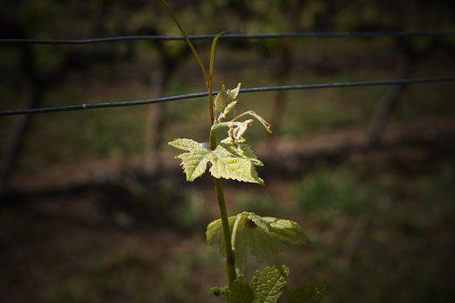 Vineyard, Green, Wine, Grapes, Vines, Winery, Grapevine