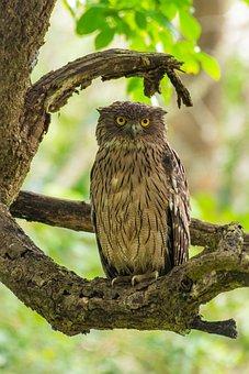 Birds, India, Brownfishowl, Birdphotography