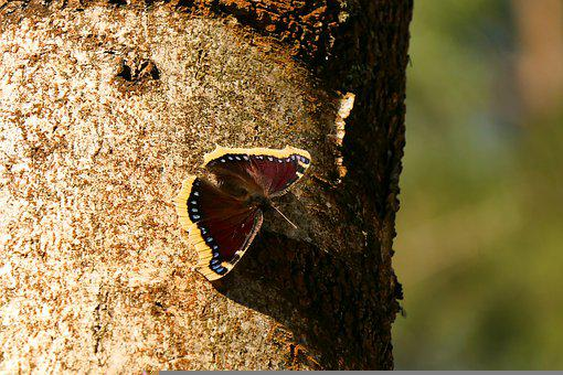 Butterfly, Insect, Tree, Mourning Cloak Butterfly