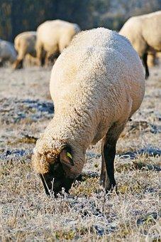 Sheep, Animal, Pasture, Grazing, Livestock, Mammal