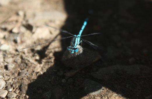 Dragon Fly, Animal, Insect, Blue, Big Eyes, Nature