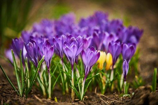 Flowers, Petals, Soil, Buds, Crocus, Krokus, Saffron